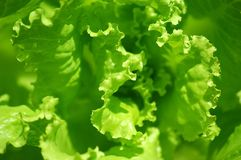 Groene sla Stock Afbeeldingen