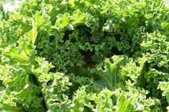 Groene sla in de tuin Royalty-vrije Stock Foto