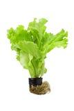Groene sla in pot die op een wit wordt geïsoleerdn Royalty-vrije Stock Fotografie