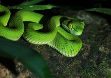 Groene slang Stock Afbeeldingen