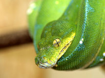 Groene slang Royalty-vrije Stock Foto's
