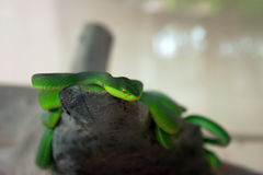 Groene slang die op een tak kruipen Royalty-vrije Stock Foto