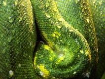 Groene Snakeskin met waterdrop Stock Afbeelding