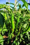 Groene Spaanse peper bij ingediende klaar te oogsten royalty-vrije stock foto's