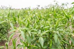 Groene Spaanse peper op Spaanse peperboom Stock Afbeeldingen