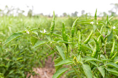 Groene Spaanse peper op Spaanse peperboom Stock Foto's
