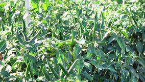 Groene Spaanse peperpeper in de tuin, de stad van DA Lat, Lam Dong-provincie, Vietnam stock video
