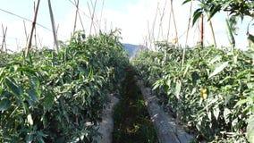 Groene Spaanse peperpeper in de tuin, de stad van DA Lat, Lam Dong-provincie, Vietnam stock footage
