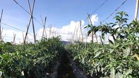 Groene Spaanse peperpeper in de tuin, de stad van DA Lat, Lam Dong-provincie, Vietnam stock videobeelden