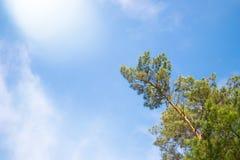 Groene spar tegen blauwe hemel als achtergrond stock fotografie