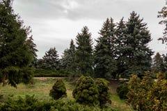 Groene sparren in het bos Royalty-vrije Stock Afbeelding