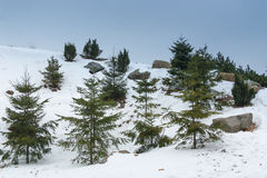 Groene sparren op een berg De winter Ijzige Ochtend Stock Afbeeldingen