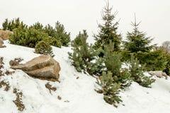 Groene sparren op een berg De winter Ijzige Ochtend Royalty-vrije Stock Foto's