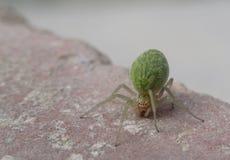 Groene spin op een baksteen Stock Foto