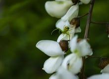 Groene spin op witte acaciabloemen stock afbeeldingen