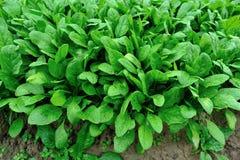 Groene spinazie in de groei stock fotografie