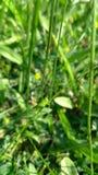 Groene Sprinkhaan Stock Fotografie