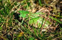 Groene sprinkhaan in het gras Royalty-vrije Stock Afbeeldingen