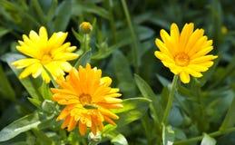 Groene sprinkhaan op bloemcalendula Royalty-vrije Stock Fotografie