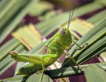 Groene sprinkhaan op gras Stock Foto's