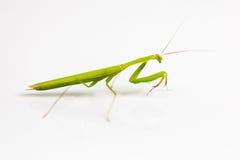 Groene sprinkhaan op witte achtergrond stock fotografie