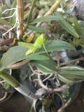Groene sprinkhanen zoals bladeren, stock fotografie