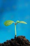 Groene spruit Royalty-vrije Stock Afbeelding