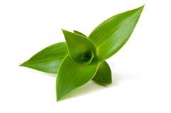 Groene spruit Royalty-vrije Stock Foto