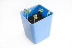 Groene spruit in een pot Stock Foto's