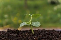 Groene spruit in een tuin Stock Fotografie