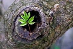 Groene spruit en hol in een oude boom stock afbeeldingen