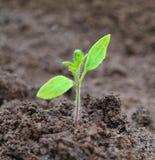 Groene spruit het groeien tomaten van zaad Royalty-vrije Stock Afbeeldingen