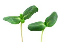 Groene spruiten stock foto's