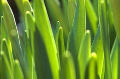 Groene spruiten in de lente royalty-vrije stock afbeelding