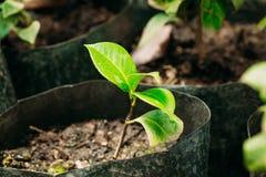 Groene Spruiten van Boom met Blad, Bladeren die van Grond in Potts in Serre of Broeikas groeien De lente, Concept Nieuw Stock Afbeeldingen