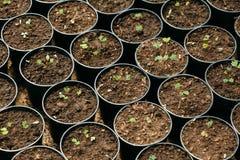 Groene Spruiten van Boom met Blad, Bladeren die van Grond in Potts in Serre of Broeikas groeien De lente, Concept Nieuw Stock Afbeelding