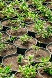 Groene Spruiten van Installatie met Blad, Bladeren die van Grond in Potten groeien royalty-vrije stock afbeeldingen