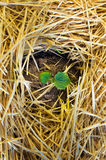 Groene spruiten van komkommer het voortkomen uit grond Royalty-vrije Stock Foto