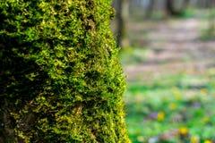 Groene spruiten van mosclose-up op een boom op een zonnige de zomerdag, selectieve nadruk, achtergrond stock foto's