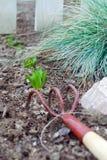 Groene spruiten van narcissen Royalty-vrije Stock Afbeelding