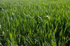 Groene spruiten van tarwe op het gebied royalty-vrije stock foto