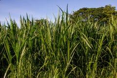 Groene spruiten van tarwe op het gebied royalty-vrije stock afbeeldingen