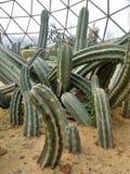 Groene Stekelige cactussen in geodetische koepel in Ram IX van Suan Luang Phra Park Royalty-vrije Stock Fotografie