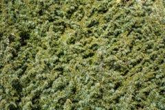 Groene stekelige takken van een bont-boom of een pijnboom royalty-vrije stock afbeeldingen