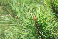 Groene stekelige takken van pijnboom groene stekelige takken van pijnboom, Kerstmis natuurlijke achtergrond Royalty-vrije Stock Foto
