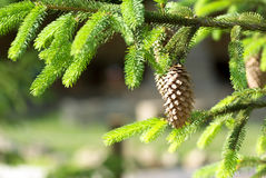 Groene stekelige takken van sparren of pijnboom en denneappel op fu royalty-vrije stock foto's