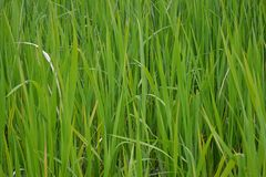 Groene stekelige zeggeachtergrond stock foto's