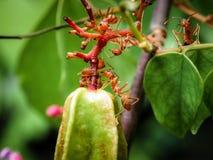 Groene stervruchten met dichte omhooggaande mieren op de boomstam stock foto's