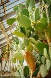 Groene stootkussens op een vijgcactus Vijgencactus in glashuis Stock Foto