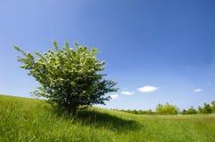 Groene struik Stock Foto's